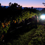 Garvey Home Ranch Cabernet Sauvignon harvest in Rutherford 2011