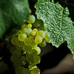Oak Know Riesling on September 8th still weeks from harvest.