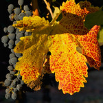 A virused leaf turns prematurely golden as the Cabernet crop slowly ripens.