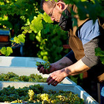 Cornerstone winemaker Jeff Keene sorting riesling in the field during harvest.