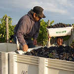Harvesting Cornerstone Davis Block Cabernet Franc in Oakville, Napa Valley