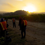 The harvest crew takes a break as the sun rises over our pinot gris harvest in Oakville on September 11th.