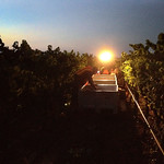 The Cornerstone Cellars 2012 harvest starts with Oakville Pinot Gris on September 11th.